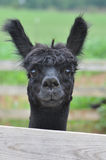 Domesticated Alpacas Stock Images