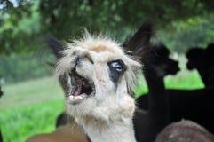 Domesticated Alpacas Stock Image