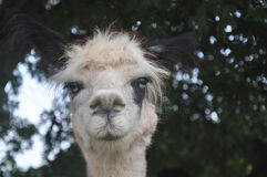 Domesticated Alpacas Royalty Free Stock Image