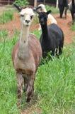 Domesticated Alpacas Stock Photos