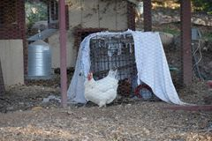 Domesticated American egg laying chicken, 4. One of the most common, domesticated animal, chickens can now be found almost everywhere. Being traced back to the stock image