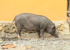Domesticated boar Royalty Free Stock Photo