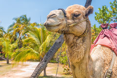 Domesticated camel and palm trees Stock Photography