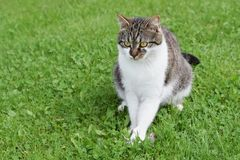 Domesticated cat caught mouse sitting on the green lawn. Domesticated cat caught mouse and just is sitting on the green lawn stock photography