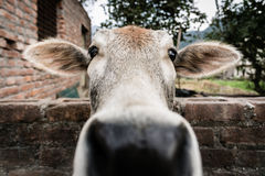 Domesticated Cow (Rishikesh, India). A cow in Rishikesh's Tapovan neighborhood. While many of the cows wondered freely in the streets, this one was domesticated Stock Images