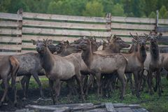 Marals on farm in Altay. Domesticated deers marals on farm in Altay stock photos