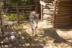 Domesticated donkey Royalty Free Stock Photo
