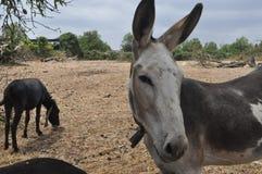 Donkey mammal animal Royalty Free Stock Photos