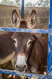 The domesticated donkey standing in the corral Royalty Free Stock Photography