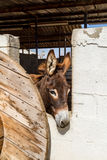 Domesticated donkey standing in the corral Stock Photography