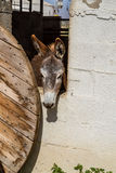 Domesticated donkey standing in the corral Royalty Free Stock Photos
