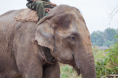 Domesticated elephant in Nepal Royalty Free Stock Images