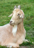 Domesticated Goat Stock Photography