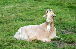Domesticated Goat Royalty Free Stock Images