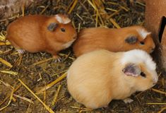 Domesticated Guinea Pigs in Pisac. Domesticated Guinea Pigs are held in a cage to be sold as food at the market of Pisac, Peru stock image