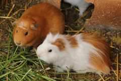 Domesticated Guinea Pigs in Pisac. Domesticated Guinea Pigs are held in a cage to be sold as food at the market of Pisac, Peru royalty free stock image