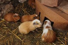 Domesticated Guinea Pigs in Pisac. Domesticated Guinea Pigs are held in a cage to be sold as food at the market of Pisac, Peru royalty free stock photos