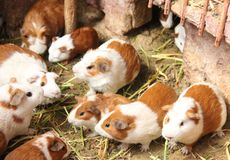 Domesticated Guinea Pigs in Pisac. Domesticated Guinea Pigs are held in a cage to be sold as food at the market of Pisac, Peru stock photography