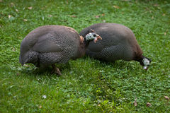 Domesticated guineafowl Numida meleagris f. domestica Royalty Free Stock Photo
