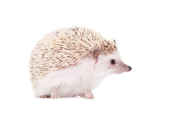 Domesticated hedgehog or African pygmy Stock Image