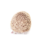 Domesticated hedgehog or African pygmy Royalty Free Stock Images