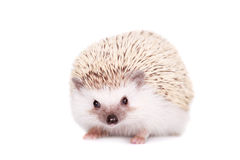 Domesticated hedgehog or African pygmy Stock Photos
