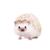 Domesticated hedgehog or African pygmy Stock Photography