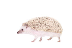 Domesticated Hedgehog Or African Pygmy Royalty Free Stock Photos