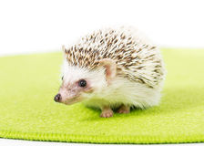 Domesticated Hedgehog. Picture of a Pygmy Hedgehog on a green mat stock images