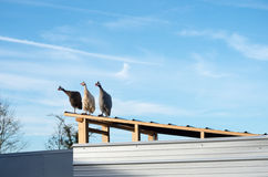 Domesticated helmeted guineafowl (Numida meleagris) on roof. A group of three domesticated helmeted guineafowl (Numida meleagris), all looking to the left Stock Photo