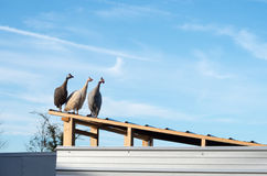 Domesticated helmeted guineafowl (Numida meleagris) on roof. A group of three domesticated helmeted guineafowl (Numida meleagris), all looking to the right Stock Photos