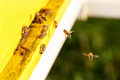 Domesticated honeybees in flight, returning to their beehive Stock Images