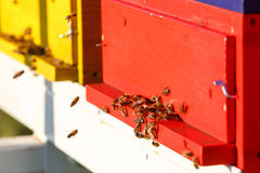 Domesticated honeybees in flight, returning to their beehive Royalty Free Stock Image