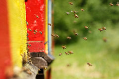 Domesticated honeybees returning to their apiary. Domesticated honeybees in flight, returning to their apiary, bringing nectar for organic honey and food for bee royalty free stock image
