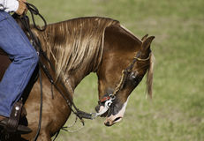 Domesticated horse during show Royalty Free Stock Photos