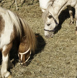 Domesticated horses in farmland Royalty Free Stock Images