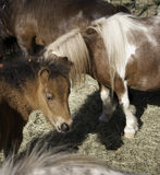 Domesticated horses Stock Images