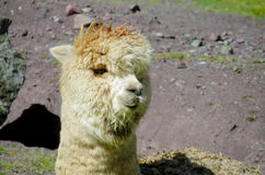 Domesticated lama portrait. The llama, Lama glama domesticated South American camelid animals Stock Photography