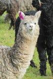 Domesticated lama portrait. The llama, Lama glama domesticated South American camelid animals Stock Image