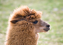 Domesticated llama Stock Image