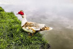 Muscovy Duck. Domesticated male duck living outdoors stock photos