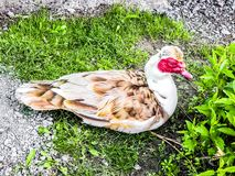 Muscovy Duck. Domesticated male duck living outdoors stock photo