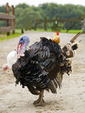 Domesticated Male Tom Turkey Stock Image