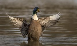 Domesticated Mallard. A Domesticated Mallard on a lake flapping it`s outstretched wings showing the detail of it`s colourful plumage Royalty Free Stock Image