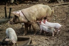 A domesticated mother pig with her three piglets. A domesticated mother pig letting her three piglets suckle inside a yard royalty free stock images