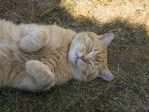 Domesticated orange tabby cat lying on grasst outside yawning, paws up. stock images