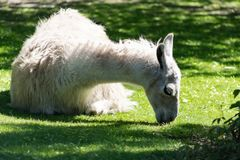 Domesticated pack animal fluffy white llama in Moscow zoo stock photo