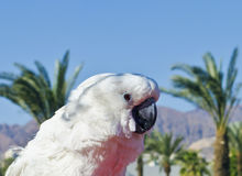 Domesticated parrot at Eilat city Stock Images
