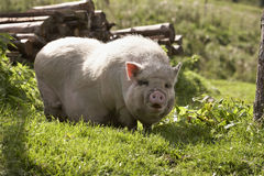 Domesticated pig. Standing free on grassy farmland Stock Photography