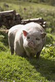 Domesticated pig. Standing free on grassy farmland Royalty Free Stock Image
